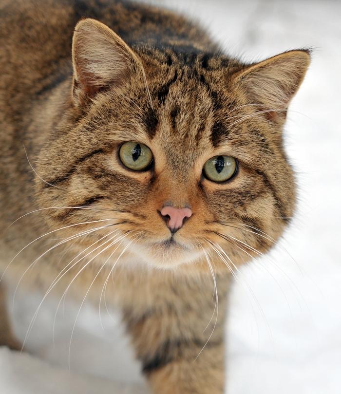 Лесной кот. Дикий кот. Котик. Дикий кот в Дельте Дуная. Погладь кота