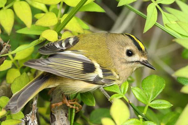 The Goldcrest, желтоголовый королек. Птица. Birdwatching in Vilkovo. Birding. Бердинг. Бёрдвотчинг на Дунае.