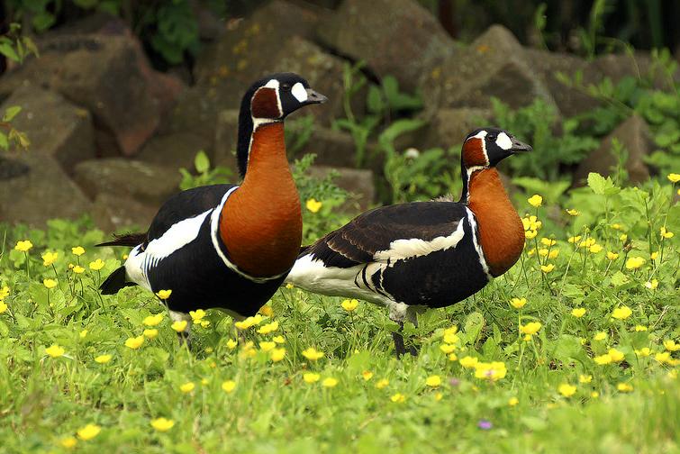 Birdwatching in Vilkovo. Birding. Бердинг. Бёрдвотчинг на Дунае.    Краснозобая казарка/ Краснозобая казарка. Птицы. Утки