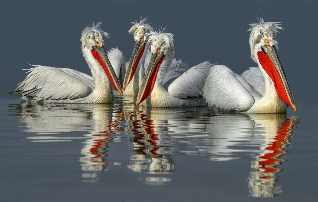 Пеликан кудрявый. Пеликан. Пеликаны. Птицы. Вода. Отражение. Красный нос
