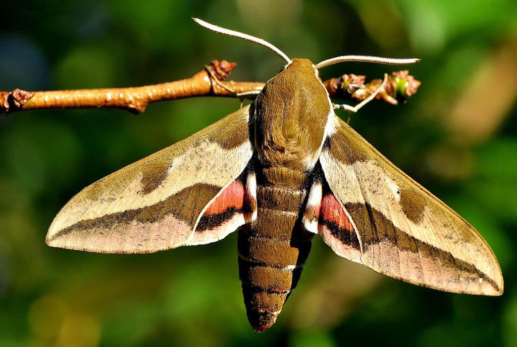 Бражник молочайный (Hyles euphorbiae). Бабочка. Бражник. Красивая бабочка. Большая бабочка