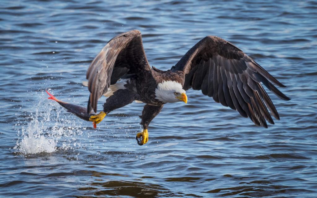 Орлан белохвост. Белохвостый орел. Дунай. Дунайский биосферный заповедник. Орел поймал рыбу. Охота орла. Орел. Рыба. Орел ухватил рыбу.